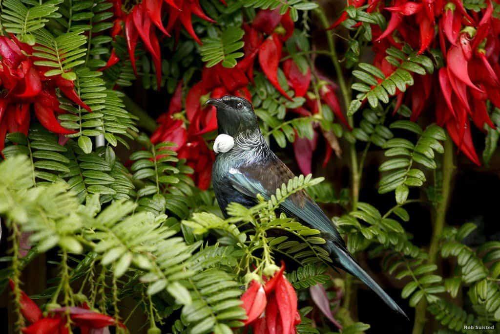 Neuseeland Papageien